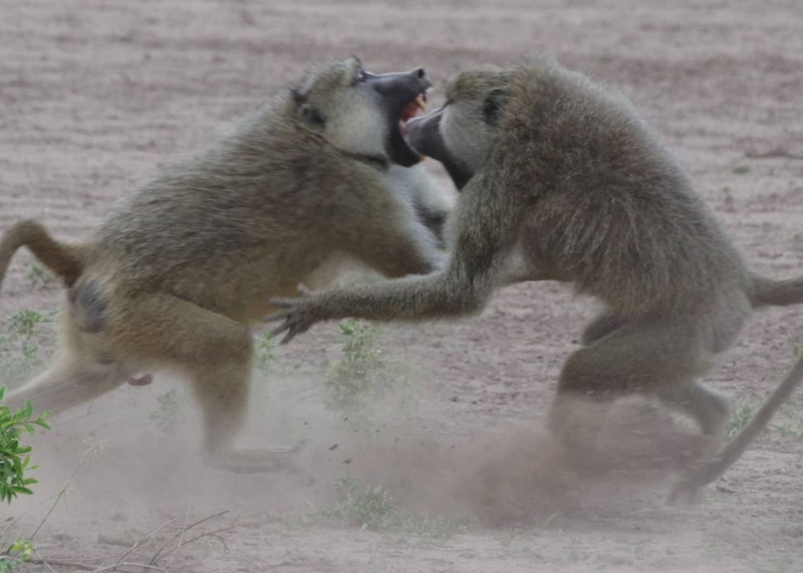 A study in wild baboons suggests the link between status and health depends on whether an individual has to fight for status, like these males, or status is given to them. Photo by Elizabeth Archie, University of Notre Dame