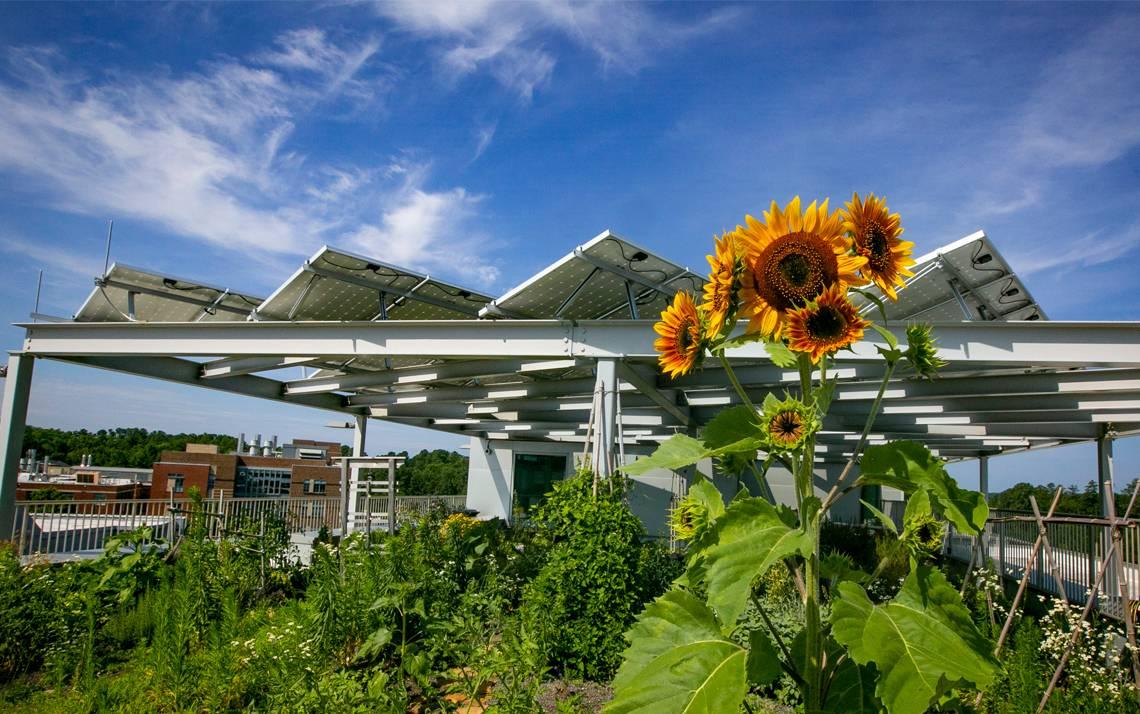 A sunflower in Grainger Hall's rooftop garden.