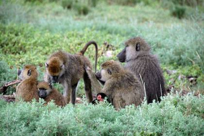 Baboon females rise in rank with a little help from their moms and sisters. Photo courtesy of Susan Alberts.