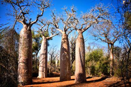 The baobab is the national tree of Madagascar. Photo by Rod Waddington.