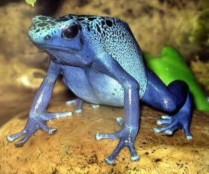 Blue Poison Dart frog Dendrobates azureus at Bristol Zoo, England. Photo: Adrian Pingstone via Wikimedia Commons.
