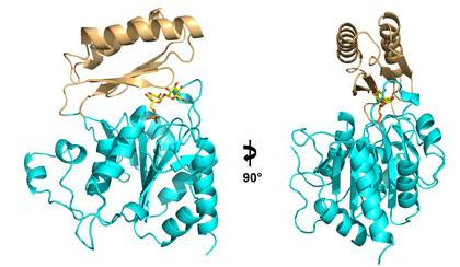 This ribbon diagram shows two views of the structure of the enzyme Tps2 as it removes a phosphate from a sugar molecule (yellow, orange and red). The result of this process is a sugar called trehalose which forms a tough coating on pathogenic fungi, enab