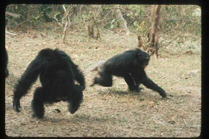 A male chimpanzee (left, with back to camera) menaces a fleeing female in a typical display of aggression. A new study finds that males who are consistently aggressive tend to sire more babies. (Credit: Jane Goodall Institute/ Jane Goodall)