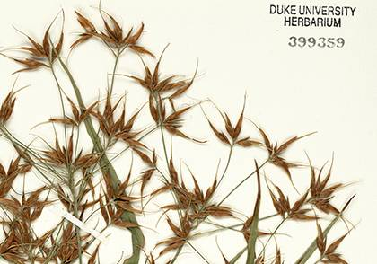 Herbarium sample of Rhynchospora, commonly known as beak-rush or beak-sedge. Photo courtesy of Duke Herbarium.