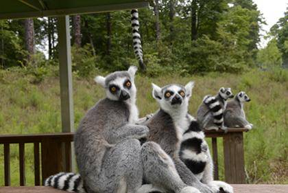 The Duke Lemur Center is offering discounted tours to Duke employees during Duke Appreciation 2014. Photo courtesy of the Duke Lemur Center