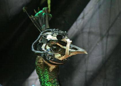 Peafowl wearing eye-tracker head gear