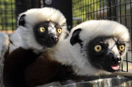 Coquerel's sifakas, like this mother-baby pair, are the only lemur species out of 17 at the Duke Lemur Center to fall prey to Cryptosporidium, a waterborne illness that causes weakness and diarrhea. Young sifakas are more likely to get sick, but if resea