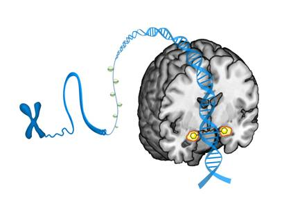 An artist's conception shows how molecules called methyl groups attach to a specific stretch of DNA, changing expression of the serotonin transporter gene in a way that ultimately shapes individual differences in the brain's reactivity to threat. The m