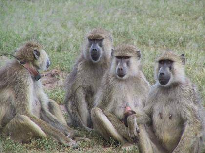 A study of mortality and fertility patterns among seven species of wild apes and monkeys like these (baboons or capuchins) and hunter-gatherer humans shows that menopause sets humans apart from other primates.