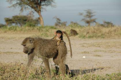 A four-month old infant baboon rides on its mother's back near Amboseli National Park in Kenya. Early adversity, such as losing a mother before age four, reduces adult life expectancy in wild baboons by up to ten years, researchers find. Photo courtesy o
