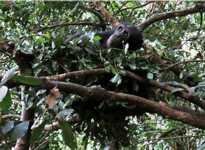 Chimpanzees build beds in trees for a comfy night's rest. Our closest animal relatives, chimpanzees sleep an average of 11.5 hours a night, whereas humans snooze for just seven hours. Photo courtesy of Kathelijne Koops, University of Zurich, Switzerlan