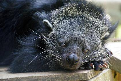 The binturong, or bearcat, is neither a bear nor a cat, but a shy member of the civet family that lives in the rainforests of Southeast Asia. Binturongs owe their popcorn-like scent to a chemical compound in their urine that also happens to be the major