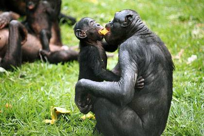 Bonobos Kisantu and Liyaka share a piece of fruit at the Lola ya Bonobo sanctuary near Kinshasa.