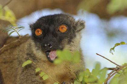 The habitat of this brown lemur in Madagascar is likely to shrink by half before the end of the century due to climate change, finds a Duke University study. Photo by David Haring, Duke Lemur Center