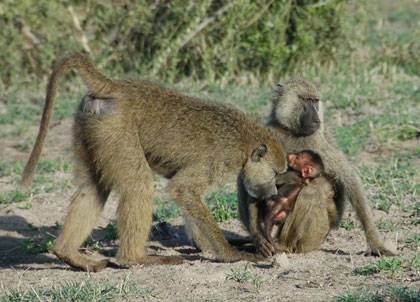 Baboons born in times of famine are more vulnerable to food shortages later in life, finds a new study. Photo courtesy of Susan Alberts, Duke University.