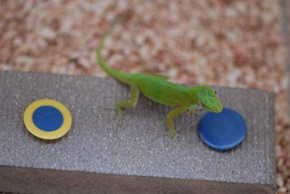 A Puerto Rican anole eyes a blue cap to get a worm. Credit: Manuel Leal, Duke University.