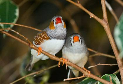 Zebra Finches, like this male and female pair (Taeniopygia guttata), are being used to study the effects of mutations in the gene behind Huntington's disease in humans. (Credit: Keith Gerstung, via Wikimedia Commons)
