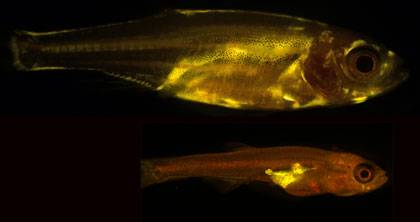 Yellow coloring highlights the location of fat cells in this pair of zebrafish. In the adult fish at the top, which is about 10 mm, fat is deposited throughout the body, most notably under the skin on the flanks. At the juvenile stage (below), the 4.5 mm