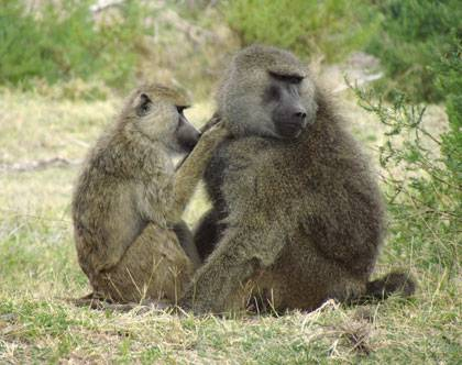 Baboons take turns grooming each other to make friends and cement social bonds. A new study finds that baboon friendships influence the microscopic bacteria in their guts. Photo by Elizabeth Miller, University of Notre Dame.