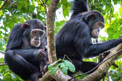 Chema and Rumumba, two low-ranking immigrant female chimpanzees, take turns grooming each other in Gombe National Park, Tanzania. A Duke study finds that low-ranking female chimps prefer to socialize with other females of similar status. Photo credit: Ka