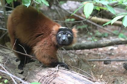 The red ruffed lemur is just one of many species visitors can see at the Duke Lemur Center. Faculty and staff receive discounts off tours. Photo by Alex Sampson.
