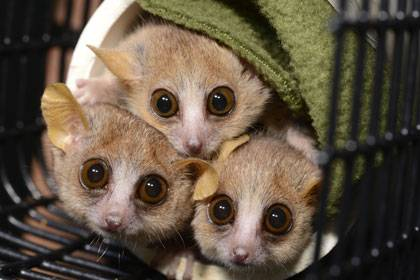 Three mouse lemurs (microcebus murinus) peer cautiously from their nesting tube at the sound of an approaching Duke Lemur Center technician who might just be carrying snacks. (David Haring, Duke Lemur Center)