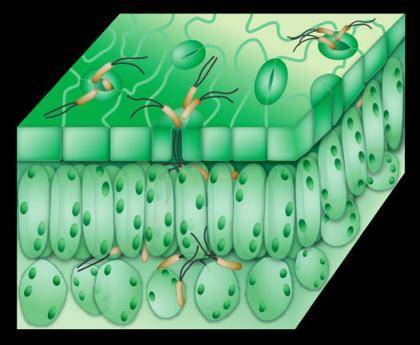 Illustration by Marlene Cameron and Sheng-Yang He of Michigan State University depicts Pseudomonas bacteria invading a leaf through the mouth-like stomata on the surface.