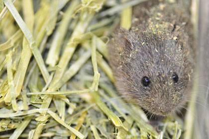 Too much elbow room raises alarm in prairie voles. Photo courtesy of Aubrey M. Kelly, Cornell University