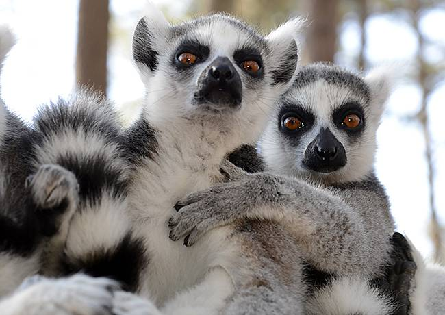 "Ring-tailed lemurs such as these at the Duke Lemur Center can tell that a fellow lemur is weaker just by the natural scents they leave behind, researchers report. Males act more aggressively toward scents that smell ""off."" Photo by David Haring."