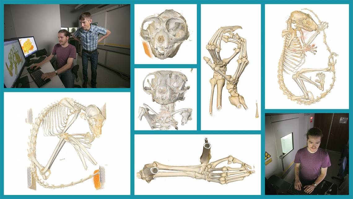 Former Duke graduate student Gabe Yapuncich and assistant professor of evolutionary anthropology Doug Boyer are making 3-D X-ray scans of dozens of lemurs and other rare and endangered primates. Photos by Megan Mendenhall; design by Jon Fuller.