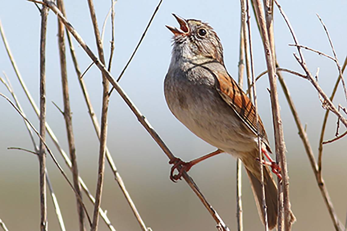 As they get up in years, male swamp sparrow songs don't strike fear like they used to. Photo by Robert Lachlan, Royal Holloway, University of London