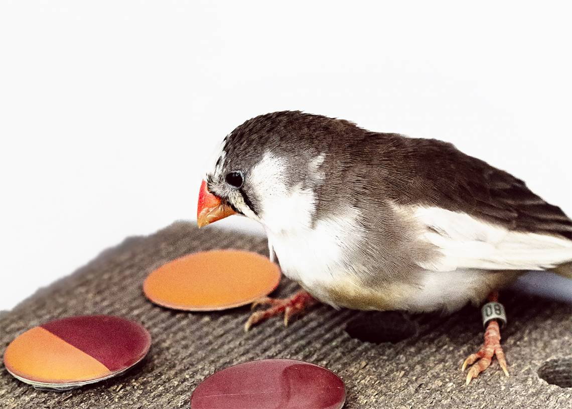 The rainbow of visible colors varies over a continuous range of wavelengths, but zebra finches break it into discrete colors much like humans, researchers report. Photo by Ryan Huang, TerraCommunications LLC