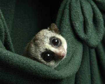 The fat-tailed dwarf lemur is our closest hibernating relative. Researchers at the Duke Lemur Center have been changing up their care to more closely match the seasonal fluctuations they experience in the wild. Photo by David Haring.