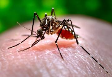 """The Aedes aegypti mosquito, which can spread dengue fever, Zika virus and yellow fever. New research shows mosquitoes are able to """"sniff out"""" trace amounts of insecticides using specialized receptors on their antennae. Photo by James Gathany, CDC"""