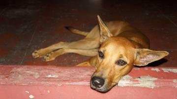 A surveillance study by Duke Global Health found a dog coronovirus in a human patient. (Malaysian dog - wikimedia commons)