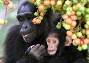 Wild chimpanzees feed on figs in Kibale National Park, Uganda. Photo by Alain Houle, Harvard University