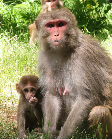 Rhesus monkeys move their eardrums too!