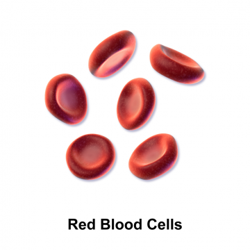 Red blood cells ferry oxygen to tissues, providing fuel for muscular activity. Unscrupulous athletes have been able to 'dope' their blood by enriching their supply of red blood cells. Credit: Bruce Blausen