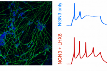 CRISPR-based activation of gene networks implicated in human stem cells becoming neuronal cells led to the generation of cells with neuronal shapes and markers (left) and enhanced function and electrophysiological properties, including producing more acti