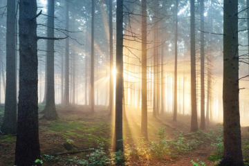 Image of sun rising in a forest of pine trees.