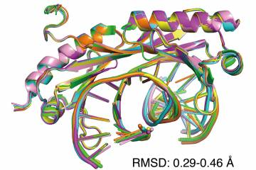 An overlay of six X-ray crystal structures of DNA shows that regular (Watson-Crick) and mismatched DNA are similarly bent by the transcription factor TBP. However, the mismatched DNA is highly preferred by the protein because it is easier to distort.