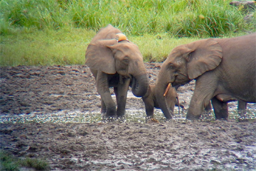 Collared elephant, Marijo, (left) enjoying the rich minerals found at the Langoue Bai forest clearing.