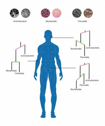 Duke scientists have identified microbes that diverged into new species to specialize in colonizing one area after another of the human body. The new analysis used mathematical tools originally developed for geologists. Credit: Jonathan Fuller
