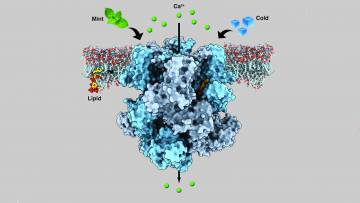 An ion channel in human nerve cells called the transient receptor potential melastatin member 8 (TRPM8) senses both coldness and menthol, transmitting cooling sensations by releasing calcium (green spheres). Image: Ying Yin