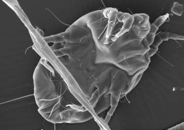 Only about two dozen of the thousands of proteins making up a dust mite actually trigger allergic reactions. A new technique shows that these sniffle-making proteins share a combination of stability and abundance. Credit: Holly Leddy, Duke University