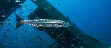 Large predator fish at artifical reef. Photo2_Credit-J-McCord-CSI-1.png