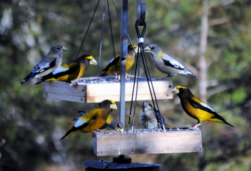 Evening Grosbeaks on a feeder in Hillsborough. The males are bright (lower right), the females more understated (upper left and right). A Purple Finch (center), another northern visitor, has joined them. (Lane Scher)