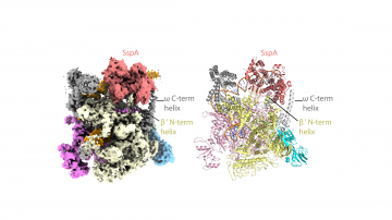 The three-dimensional structure of a protein called the stringent starvation protein A, a member of a multi-protein complex that Francisella tularensis uses to infect macrophage cells. (Schumacher Lab, Duke)