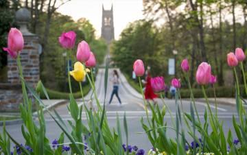 Tulips in front of Duke Chapel.