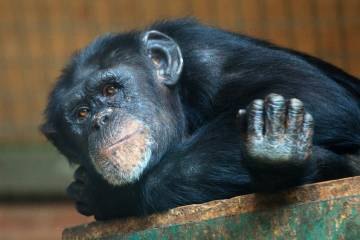 Why do humans live so much longer on average than our closest primate relatives, the chimpanzees, despite being 99% identical genetically? Research suggests the epigenetic aging clock ticks slower for humans than for chimps. Photo by Petr Kratochvil.